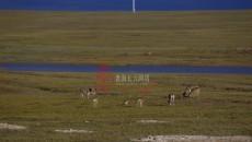 罕見!成群藏羚羊不怕影子 鐵路橋下乘涼