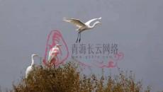 十只中白鷺做客祁連人工湖