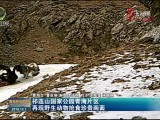 祁连山国家公园万博官网manbetx片区再现野生动物抢食珍贵画面