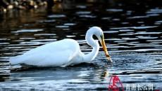【生態文明@濕地】到格爾木探尋高原濕地的白鷺蹤跡