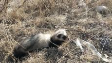 民和警方放生一只野生动物——臭鼬