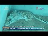 玉樹治多:一雪豹捕食家畜受傷  森林公安救治后放生