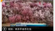 【大美短視頻】高原早春杏花俏