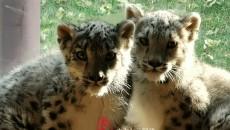 中国西宁再次成功繁育一对雪豹双胞胎