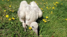 西宁野生动物园再次繁殖两只高山兀鹫
