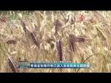 青海省秋糧作物已進入秋收秋種關鍵階段