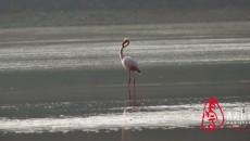 今日火烈鳥首次現身化隆黃河庫區