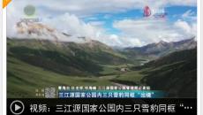 """三江源國家公園內三只雪豹同框""""出境"""""""