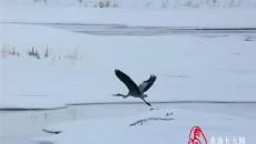 高原精灵黑颈鹤舞动那滩湿地
