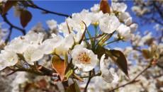 以梨为媒 以花之美
