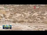 20多只岩羊结伴在青藏公路旁觅食
