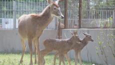 青海白唇鹿在北京动物园首次成功繁育