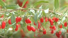 枸杞成熟采摘季 红果飘香铺满地