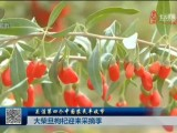 【关注第四个中国农民丰收节】大柴旦枸杞陆续迎来采摘季