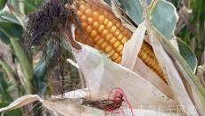 """【多彩青海?丰收是一种幸福】全膜玉米种植让农民""""钱袋子""""鼓起来"""