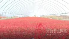 """【多彩青海?丰收是一种幸福】枸杞成了农民增收""""金钥匙"""""""