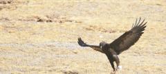 三江源,我們的國家公園 鷹的王國