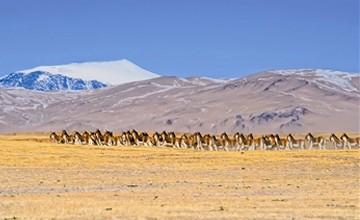 肯德可克地区成群的藏野驴