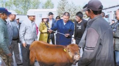 乌兰县全力打造柴达木福牛产业