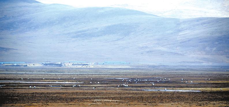 300余只黑颈鹤再次相约嘉塘草原