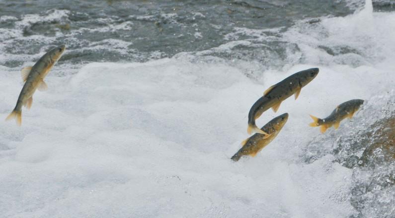 【湟鱼洄游季 探秘青海湖】一尾鱼的生态贡献