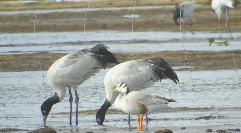 玉樹:今年首批黑頸鶴飛抵嘉塘草原