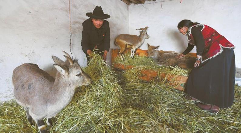 """壮丽70年 一只白唇鹿和两只岩羊的""""幸福生活"""""""