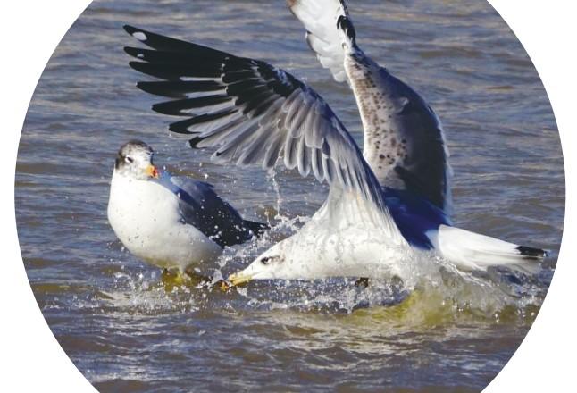 今冬多种水鸟来西宁歇脚