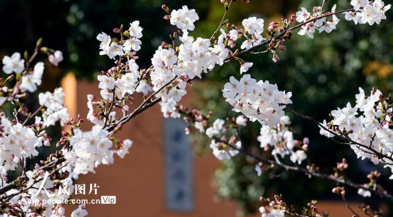 南京:春分时节 预约赏樱