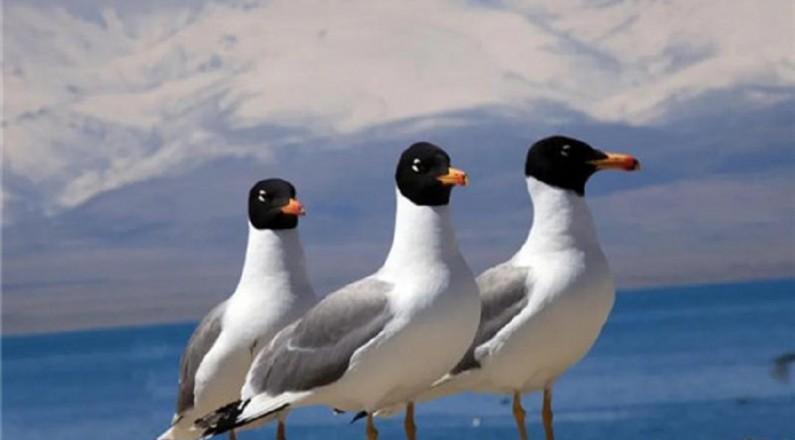 青海湖今年春季监测到水鸟7100只 普氏原羚2900只