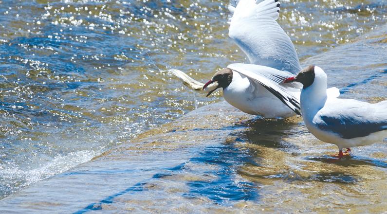 青海湖畔瞰湟魚洄游