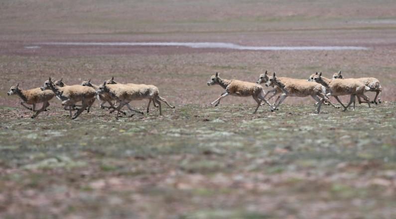 可可西里:巡山队员为藏羚羊迁徙提供保护